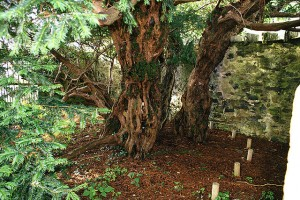 Fortingall Yew trunk