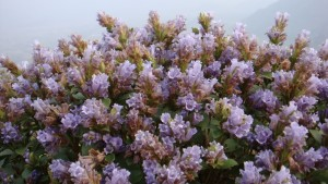 The blossom of Neelakurinji